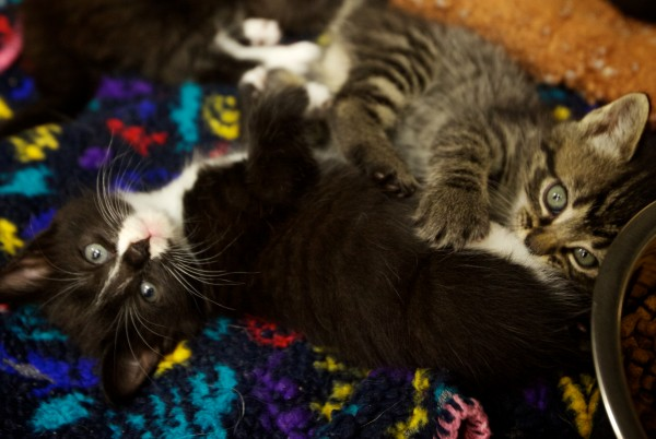Two kittens wrestle at the Coastal Humane Society in Brunswick Friday. They were found on Wednesday in Freeport, duct taped inside a plastic box with 11 other cats and kittens.