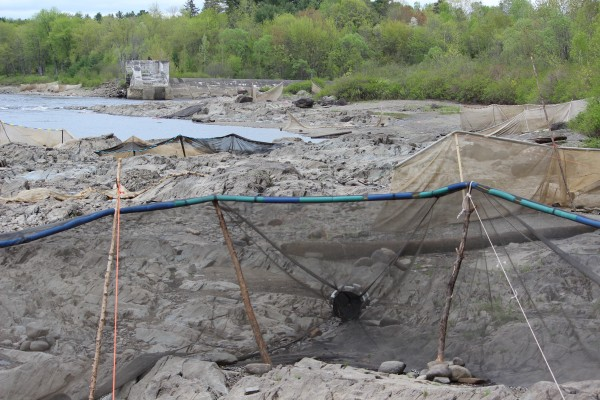 Fyke nets, which are used to catch elvers, or &quotglass eels, are visible at low tide near the Penobscot Salmon Club on the Penobscot River in Brewer, Maine, May 17, 2013. In the background is the site of the old Bangor Dam.