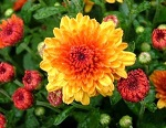 Photo:  Chrysanthemum 'Harmony' by Syngenta Flowers-Yoder Mums