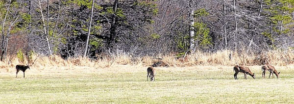 Four white-tailed deer graze in a field near the University of Maine Bike Path.