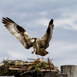 An osprey tends to some nest-building chores near Searsport recently. (Photo courtesy of Dave Small)