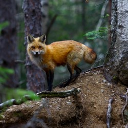 Red fox licks its lips