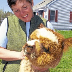 Alpacas well suited to northern Maine climate