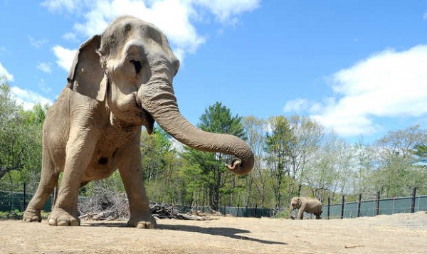 Asian elephants Rosie, 43, and Opal, 41, enjoy the outdoors in Hope recently.