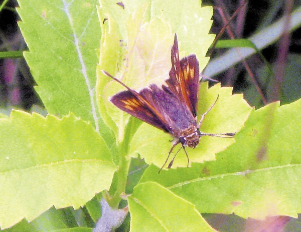 A moth-like Skipper butterfly enjoys the greenery at Petit Manan.