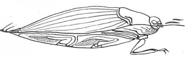 Whirligig Beetle, illustration by Sarah Wineberg '13