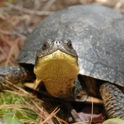 Road signs goal: Help Maine's endangered turtles
