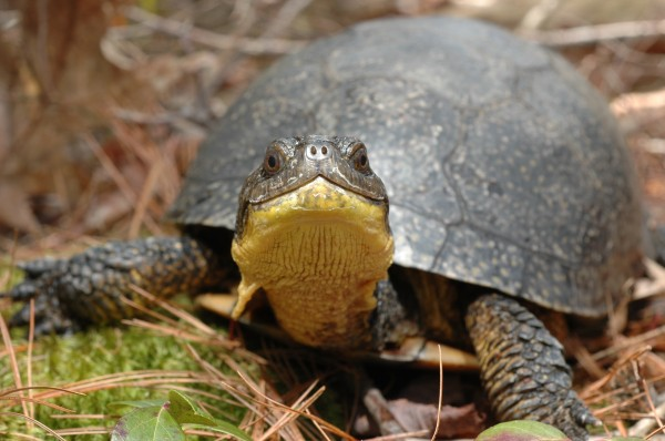 The Blanding's turtle is among the species that Maine Department of Inland Fisheries and Wildlife and The Nature Conservancy is working to protect by posting warning signs by turtle crossing hot spots in southern Maine.