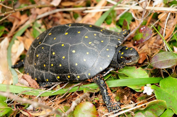 The spotted turtle, said by some to be Maine's most attractive turtle, is among the species that Maine Department of Inland Fisheries and Wildlife and The Nature Conservancy is working to protect by posting warning signs by turtle crossing hot spots in southern Maine.