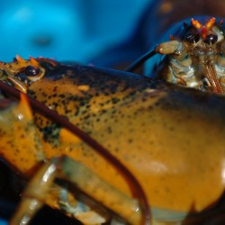 Maine lobster prices low