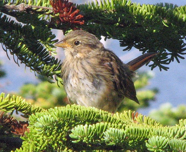 Once out in the open bog of Bangor's Roland F. Perry City Forest, birders are likely to hear the singing of resident Lincoln's sparrows.
