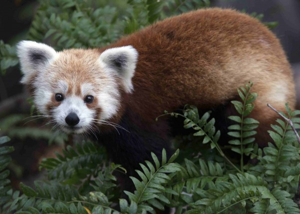 An endangered red panda named Rusty is seen in this undated handout photo released by the Smithsonian National Zoo on Monday. Rusty, who was reported missing on Monday morning, was spotted by a passerby later in the afternoon. Zoo officials apprehended him and returned him to the zoo. It's not yet clear how he escaped.