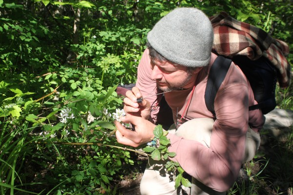 Glen Mittelhauser, the biologist leading the Plants of Baxter State Park Project, inspects a blackberry blossom with his loupe, which magnifies it 15 times, on June 20, 2013, beside Abol Stream Trail in Baxter State Park.