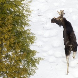 Got moose? 3,095 hunting permits handed out in Presque Isle