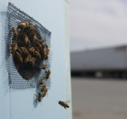 Beekeeper moves massive bee swarm from Lubec to Hampden