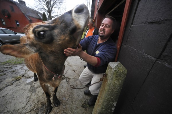 Dan Brown pets Sprocket, family's four-year-old, sole milking cow, before hosing her down at family's Gravel Wood Farm on the Blue Hill peninsula on Dec. 15, 2011. Brown is facing a court case for selling unlicensed, unlabeled raw milk. The state legislature approved a bill to deregulate the sale of raw milk.