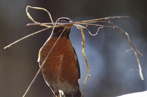 A robin pauses with a mouthful of dried grass as it builds a nest in Freeport, Maine.