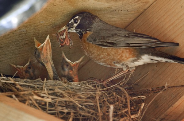 A robin prepares to feed its chicks in Freeport, Maine.