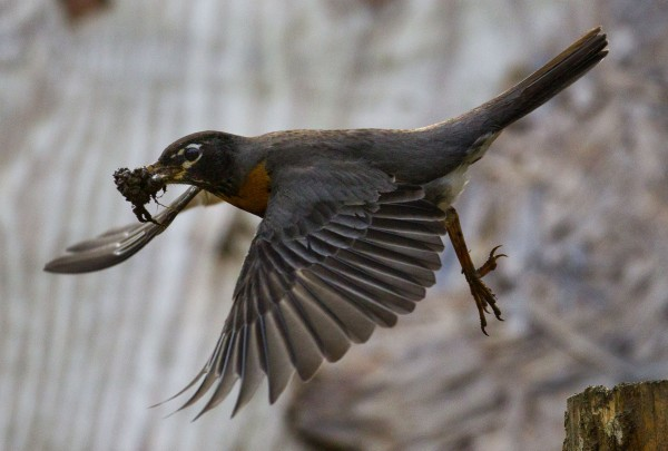 Working almost non-stop, a robin carries another load of mud to one of the three nests it built this spring n Freeport, Maine.