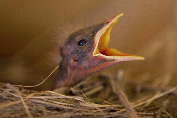 A newborn robin chick cries for food in its nest in Freeport, Maine.