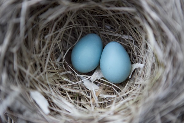 A pair of robin eggs remain in an abandoned nest built in a pile of brush in Freeport, Maine. About two weeks after giving up on these eggs the mother laid more eggs in a more secure location under the roof of a garden shed.