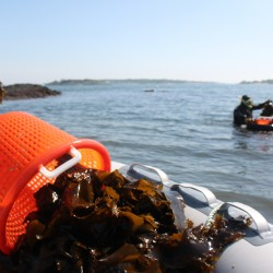 Belfast brewery tapping into seaweed venture to create kelp beer