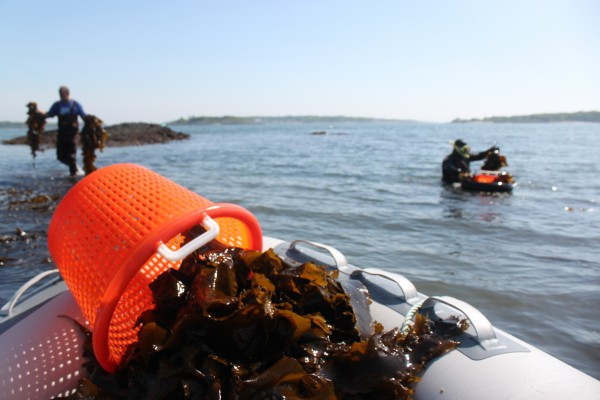 Eric Lund of Saco (left) and his boss, Tom Roth, owner of the family-owned seaweed harvesting business VitaminSea, harvest kelp by hand off Cape Elizabeth on Thursday, May 30.