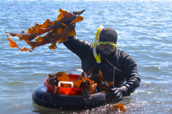 Tom Roth pulls a frond of sugar kelp from the ocean off Cape Elizabeth on Thursday, while harvesting for Scarborough-based VitaminSea, a business he owns with his wife, Kelly.