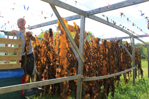 VitaminSea employee Eddie Leighton of Biddeford hangs sugar kelp to dry in the sun in a field in Scarborough on Thursday.