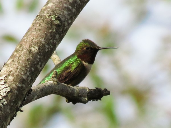 A red-throated hummingbird.