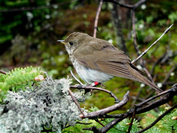 A Bicknell's thrush.
