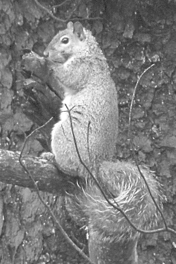 While fighting in Louisiana in mid-April 1863, Philip Souder Holmes of Stockton Springs 'captured' a young fox squirrel that he ultimately brought home to his farm after the Civil War. The squirrel was similar in gray coloration to this squirrel browsing for food at the Spotsylvania battlefield in Virginia.