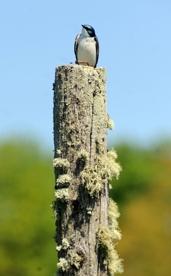 A tree swallow perches on a nesting post in the meadow at Fields Pond Audubon Center.