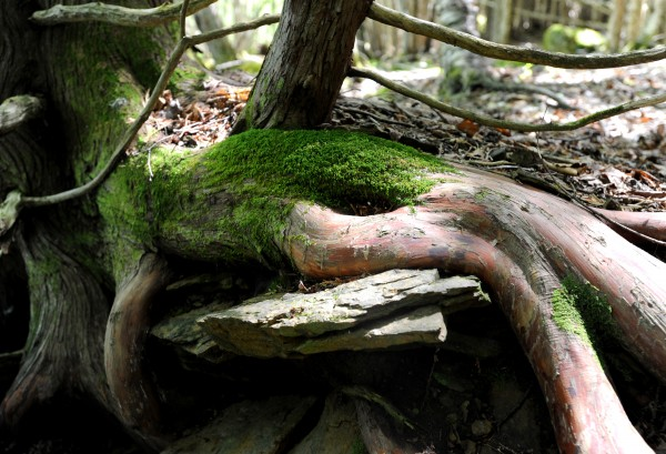 Roots weave their way over rocks by the brook that flows along side the Brook Trail at Fields Pond Audubon Center.