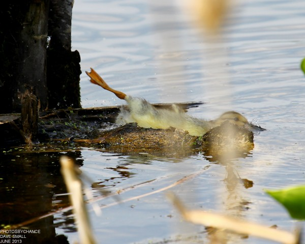 What happens when too many ducklings try to share the same log? This young mallard found out, splashing down at Essex Street Marsh in Bangor after receiving a nudge from its siblings.