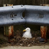 Sea gull flight high jinks a 'fall from Grace'