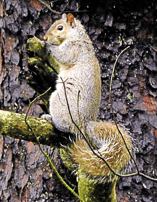 While fighting in Louisiana in mid-April 1863, Philip Souder Holmes of Stockton Springs &quotcaptured&quot a young fox squirrel that he ultimately brought home to his farm after the Civil War. The squirrel was similar in gray coloration to this squirrel browsing for food at the Spotsylvania battlefield in Virginia.