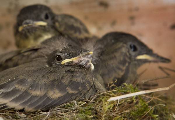Two-week-old phoebe chicks are seen just before leaving their nest under the roof of a shed in Freeport, Maine.