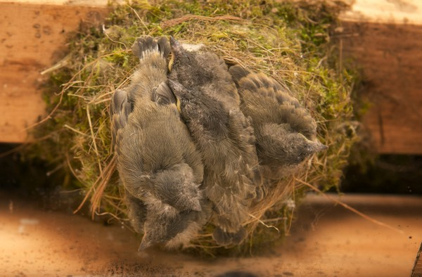Two weeks after hatching, five phoebe chicks crowd a nest under the roof of a shed in Freeport, Maine.