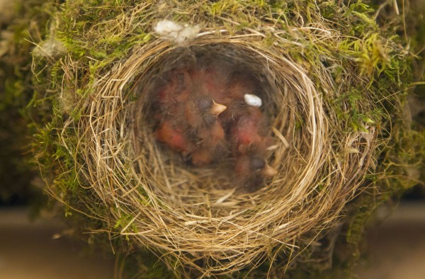 A day later five just-hatched phoebe chicks lay in a nest under the roof of a shed in Freeport, Maine.