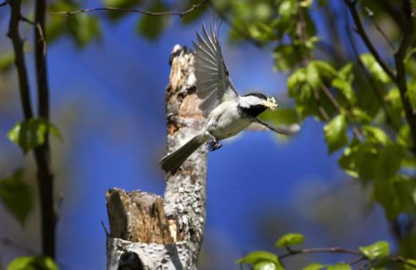 A black-capped chickadee flies away with wood chips as it clears out the cavity of a birch tree while building a nest in Freeport, Maine.