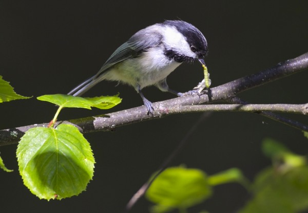 A black-capped chickadee tears apart a small caterpillar before taking it to its nest in a birch tree in Freeport, Maine.