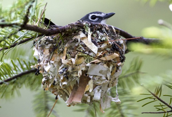 A solitary vireo sits in its nest in a fir tree in Freeport, Maine.  The nest was woven onto the branches with grass, pine needles, birch bark and moss.