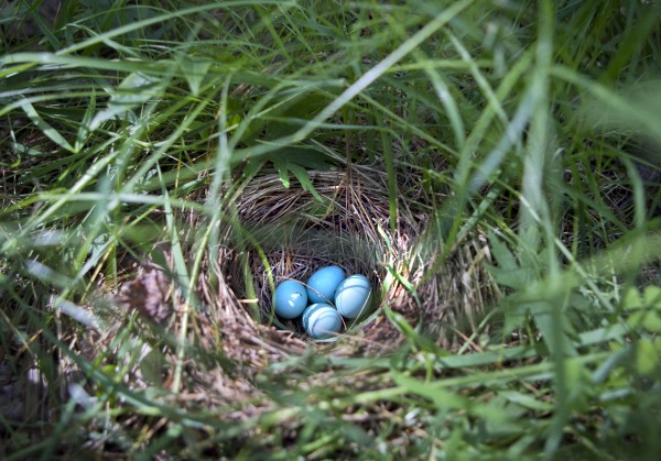 Hermit thrush eggs lay in a nest on the ground at the edge of a pine grove in Freeport, Maine.