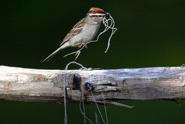 A chipping sparrow hops across a pole with threads it gathered to used for a nest in Freeport, Maine.