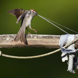 A chipping sparrow gathering nest building materials tugs on loose threads from strips of clothing hung on a garden pole in Freeport, Maine.
