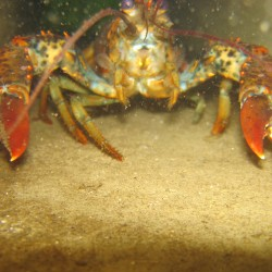 As the ocean gets warmer, are the lobsters heading to cooler northeast waters?