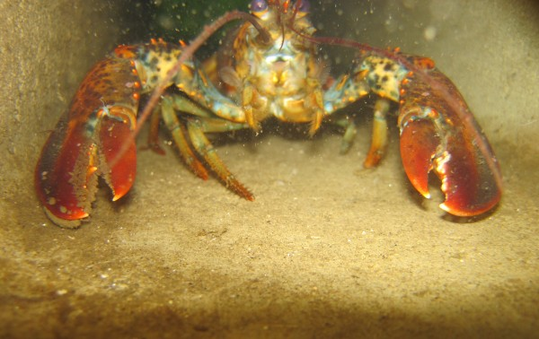 A lobster can be seen inside one of the tubes of a Habitat Mooring Sytem as it sits in Sand Cove off South Bristol in August of 2012.
