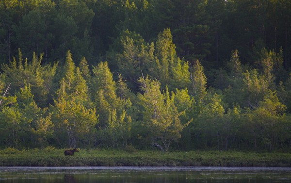 Moose wade in swamps and ponds along the Golden Road near Millinocket in Maine.