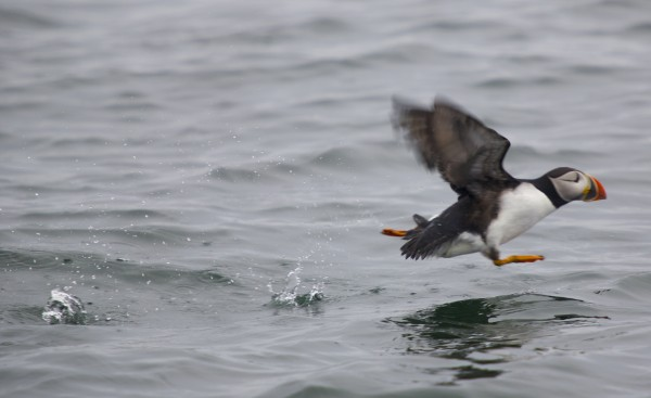 A puffin lands in the sea near Eastern Egg Rock in Muscongus Bay, about six miles east of Pemaquid Point in Maine.